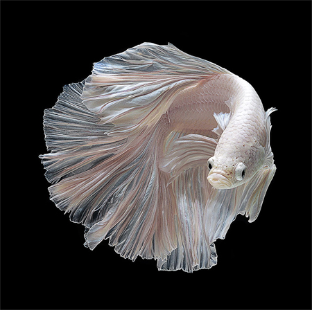 Portraits of Siamese fighting fish