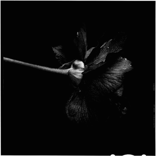 Back to black flowers: amazing photos by Bettina Güber