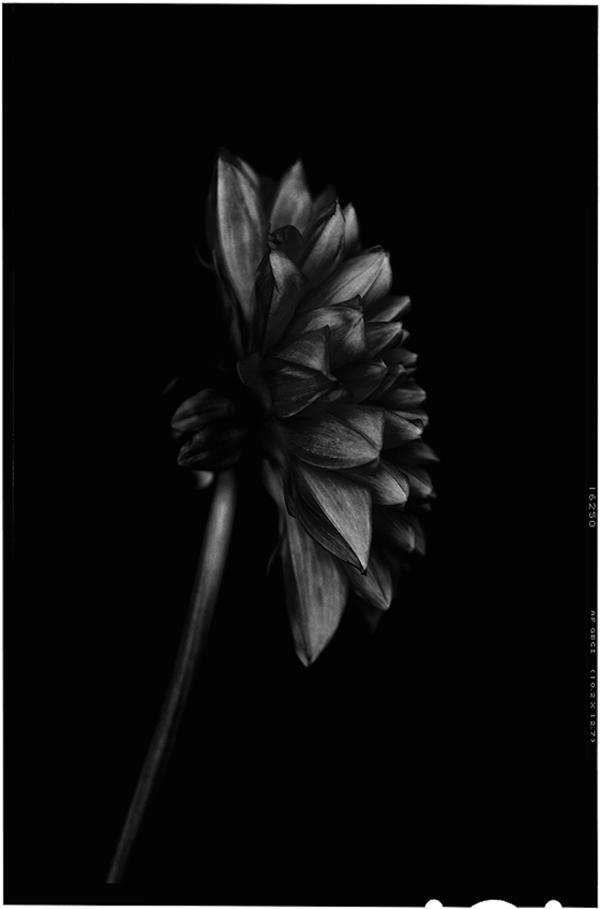 Back to black flowers: amazing photos by Bettina Güber