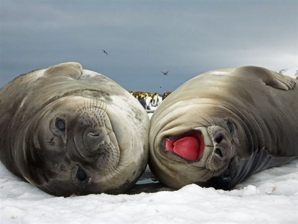 elephant-seal-pups