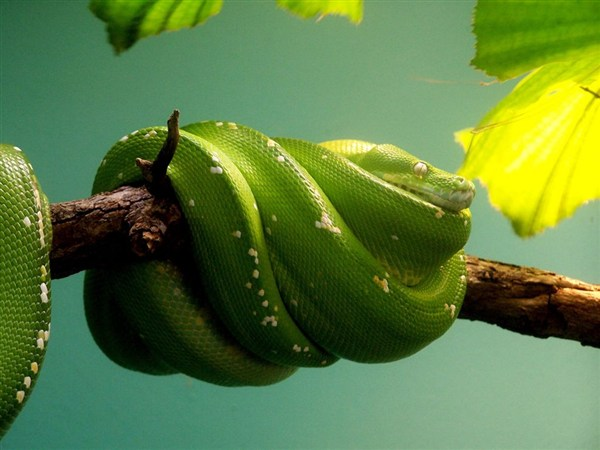 green-snake-on-a-branch