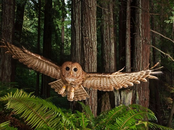 northern-spotted-owl