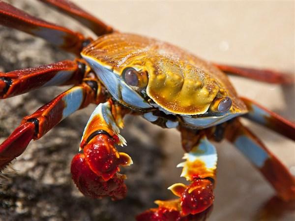 sally-lightfoot-crab