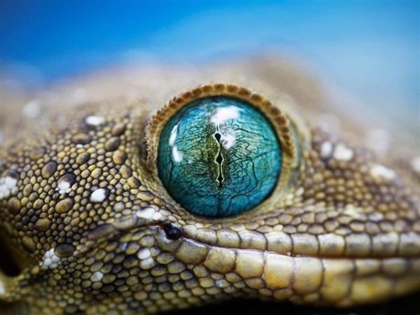 smiths-green-eyed-gecko