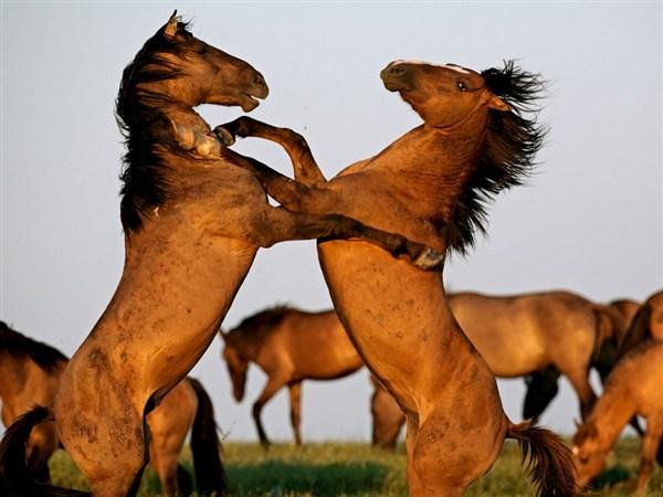 stallions-fighting